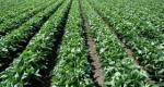 La soja, el oro verde de Uruguay